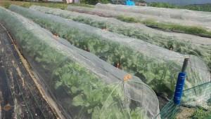 アブラナ科の野菜にはチョウが来るのでネットを掛けます